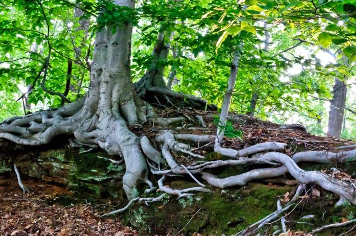 tree-roots-1